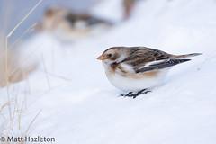 Snow bunting (Matt Hazleton) Tags: eos cairngorm snow plectrophenaxnivalis snowbunting bird wildlife nature animal outdoor canon100400mm canoneos7dmk2 canon 100400mm 7dmk2 matthazleton matthazphoto cairngormmountain bunting