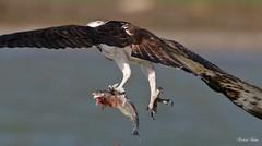 Osprey - Falco Pescatore (Pandion haliaetus) (Michele Fadda) Tags: canoneos70d sigma150600mmf563dgoshsmsport sardinia sardegna italy falco falcopescatore osprey pandionhaliaetus rapace raptor volo flight free avifauna faunaprotetta nature natura photoscape