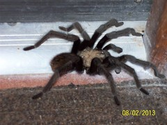 Night visitor (thomasgorman1) Tags: tarantula night creepy spider baja desert visitor mexico nature creature