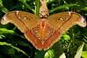 Attacus caesar male (rstickney37) Tags: saturniidae attacus attacuscaesar