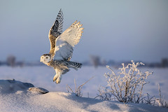 Snowy Owl Morning Lift-off (pics721) Tags: animal background bird canada claw cold day feathers field flying hunter hunting landscape liftoff light morning motion nature ontario outdoor owl predator prey raptor snow snowy snowyowl strength talon tranquility white wildlife wing winter yellow