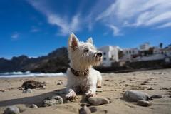 Pippa on the Beach (VintageLensLover) Tags: hund pippa westie westhighlandwhiteterrier natur outdoor küste calasantvicenç mallorca balearen batis25mmf2 carlzeiss sonya7ii