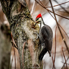 Pileated Woodpecker / Dryocopus pileatus (Rafael Arvelo C.) Tags: pileatedwoodpecker pennsylvania eeuu usa bird woodpecker dryocopuspileatus