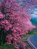 武陵櫻花祭。台湾の桜 (無聊鬼) Tags: 桜 花 櫻花 台灣 taiwan 武陵農場 flower