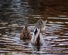 Bottoms up (jasenhigdon) Tags: upsidedown waterfowl ducks water