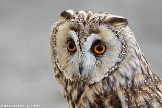 Long eared owl - Falconry fair