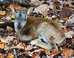 Muffel-Lamm (anubishubi) Tags: säuger säugetier paarhufer schaf wildschaf muffel lamm lamb sheep nikond60