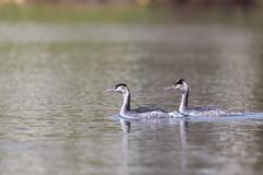 Amoureux - Lovers (bboozoo) Tags: nature wildlife lake lac grèbehuppé crestedgrebe canon6d tamron150600