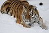 I'm gonna catch every single snowflake! (joannekerry) Tags: siberiantiger amurtiger tiger bigcats cats yorkshirewildlifepark wildlife nature canon