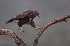 El saltador (chuscordeiro) Tags: buteo buzzard ratonero averapaz bird preyespañapajaroplumasaltoposaderofondonaturalezafaunanaturewildlifesalvajelibrecanon1dxmarkiicanon500f4aire libre color