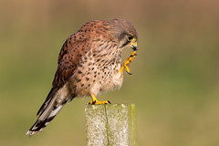 Kestrel (Simon Stobart) Tags: kestrel falco tinnunculus post perched northeast england scratching naturethroughthelens coth5 ngc