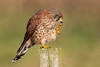 Kestrel (Simon Stobart (Catching Up and Editing)) Tags: kestrel falco tinnunculus post perched northeast england scratching naturethroughthelens coth5 ngc