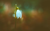 Snowdrops (Dhina A) Tags: meopta anaret s 50mm f45 meoptaanaret50mmf45 enlarger enlarging lens bokeh sharp sony a7rii ilce7rm2 a7r2 snowdrops spring season