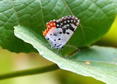 Red Pierrot - Talicada nyseus (sunbeem - Irene) Tags: redpierrot talicadanyseus white black red small orange wings spots basks undergrowth openareas flutters wing edge margin band burst settles