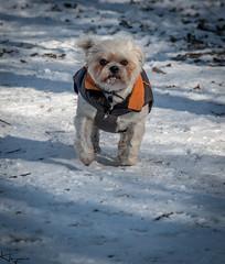 Dogs in Snow (Wayne Cappleman (Haywain Photography)) Tags: wayne cappleman haywain photography animal dog dogs southwood woodlands farnborough hampshire uk snow playing action