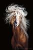 Mozart (Wiebke Haas) Tags: tierfotograf tierfotografie animal photography pferd pferdefotografie pferdefotograf studio fine art equus equine horse equestrian portrait fineart fotografie pferde planet