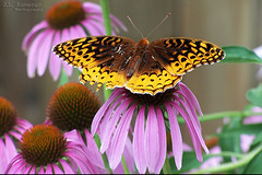 Great Spangled Fritillary on an Eastern Purple Coneflower (J.L. Ramsaur Photography) Tags: nature outdoors macro macrophotography closeupphotography closeup dof depthoffield bokeh butterfly flutterby greatspangledfritillary easternpurpleconeflower purpleconeflower fritillary coneflower god'sartwork nature'spaintbrush ruralsouth rural ruralamerica ruraltennessee ruralview jlrphotography kodakdx6490 kodak photography photo westtennessee tennessee 2005 engineerswithcameras photographyforgod thesouth southernphotography screamofthephotographer ibeauty jlramsaurphotography photograph pic tennesseephotographer