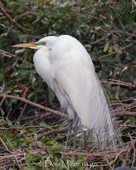 Pretty Plumage (Explored 01.19.2018) (DonMiller_ToGo) Tags: wildlife venicerookery nature bird birds outdoors birdwatching d810 rookery florida