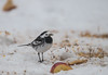 Pied Wagtail LB Garden 03-03-2018-4248 (seandarcy2) Tags: wagtail pied urban garden beds uk birds wildlife snow