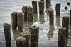 DSC_1044 (cdowney1981) Tags: newyorkcity nyc hudsonriver seagull