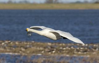 Incoming Whooper Swan