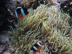 Clark's anemonefish (Amphiprion clarkii) & purple tip anemone (Heteractis crispa), Hoga Island, Wakatobi NP (Niall Corbet) Tags: indonesia sulawesi wakatobi hoga island tropical coral reef nationalpark operationwallacea opwall anemonefish clarksanemonefish amphiprionclarkii purpletipanemone seaanemone heteractiscrispa