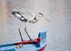 12307476_147606428931462_2613869822268117127_o (tommasofrisone) Tags: bird wildlife sea boat fishing messina sicily italy