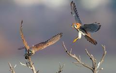 American Kestrel (X81_3886-1) (Eric SF) Tags: kestrel raptor coyotehillsregionalpark fremont california americankestrel