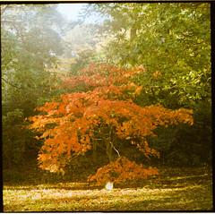 (Attila Pasek) Tags: 120film 400 kodak pentaconsix analogue autumn film leaves mediumformat portra red tree
