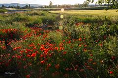 DSC_3857 (roibenedetti) Tags: papaveri fiori nikon 18105 d7200 benedetti roi terni sole controluce flare campo grano primavera