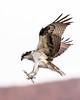 Osprey (Ed Sivon) Tags: america canon nature wildlife wild western southwest desert clarkcounty clark vegas bird birdofprey henderson nevada park