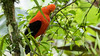 234.1 Rode Rotshaan-20171108-J1711-64721 (dirkvanmourik) Tags: andeancockoftherock aves birdsofperu bosquenublado carreteraamanu gallitodelasrocasperuano nevelwoud peru2017 reisdagcuscomanu roderotshaan rupicolaperuvianus vogel