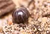 Pill Bug (Mike - through my eyes) Tags: slater pillbug extensiontube m42 yashinonds50mm