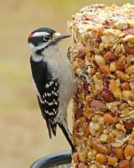 Downy Woodpecker male_22Jan2018 (Bob Vuxinic) Tags: bird cumberlandplateau crossvilletn downywoodpecker picoidespubescens male seedlog 22jan2018