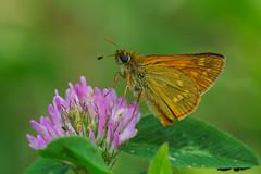 Ochlodes venata (2) (JoseDelgar) Tags: insecto mariposa ochlodesvenata 425871718735292 josedelgar naturethroughthelens alittlebeauty coth coth5 ngc fantasticnature npc