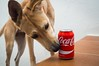 Sólo un sorbito, por favor! (gabrielromeroplana) Tags: sorbito perro dog cocacola coke lata sony nex 3n sigma 30mm 28
