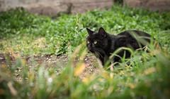 A caccia -Hunting (Pepenera) Tags: cat cats gatto gato gatti