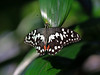Butterfly (LuckyMeyer) Tags: butterfly insect botanical garden white black green makro schmetterling