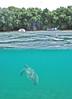 aqua beach (Jwaan) Tags: turtle rising aqua beach sand underwater bvi britishvirginislands caribbean westindies