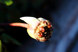 Rose Hip Exposed Seeds