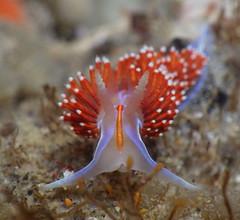Hermissenda bright (Jalama) (Jeff Goddard 32) Tags: jalamabeach santabarbaracounty california lowtide macro underwater nudibranch aeolid hermissenda