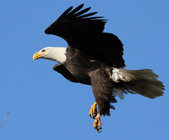 Landing gear down.... (Paridae) Tags: baldeagle accipitrinae birdsofprey raptor predator thingswithwings birdsofdelta birdsofbritishcolumbia
