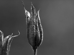 fine art black & white of beautiful detailed sculptural dry Aquilegia seed pods. A Potterton garden, Aberdeenshire, Scotland (grumpybaldprof) Tags: aquilegia columbine grannysbonnet cardiogenictoxins fineart detail light shadow seedpods seeds flowerheads brown goldenbrown eagle coloradobluecolumbine flower sun contrast garden flowers promise potterton aberdeenshire scotland bud stem elegance beauty texture plant petals petal floral sheen veins shape leaf colour flora striking brilliance hairs macro stack dof multiplefocuspoints depthoffield details detailsoflife depthoffieldstacking bw blackwhite blackandwhite noireetblanc monochrome artistic interpretation impressionist stylistic style bright dark black white illuminated canon 7d canon7d 100 100mm f28 isusm canonef100mmf28lmacroisusm