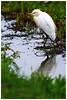 牛背鷺   Eastern Cattle Egret - Bubulcus coromandus (Alice 2018) Tags: nature hongkong 2018 canonef300mmf4lisusm canoneos7d eos7d canon 300mm bokeh wetland reflection white water bird spring aatvl01 aatvl02