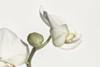 Solo (nillamaria) Tags: fotosondag fs180204 solo orkide orchid highkey knopp bud