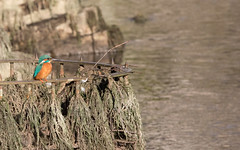 They drained the moat (Mukumbura) Tags: male kingfisher bird fish fishing catch water splash flying wildlife england alcedoatthis bishopspalace moat wells somerset nature rock perch