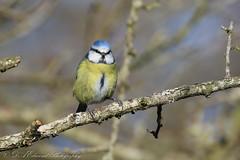 Blue Tit (Dougie Edmond) Tags: bird birds bule tits nature wildlife canon winter