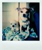 simon and hazel (EllenJo) Tags: polaroid 2018 ellenjo instantfilm cute chihuahua chiweenie dogs pets simon hazel sx70 impossibleproject polaroidoriginals buddies pals friends cuties littledogs instant littledoglaughedstories