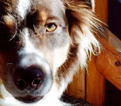 Freyja (she wolf-) Tags: red tri austrailian shepherd dog photobydianemkramerakashewolf family member k9 herding female freyja