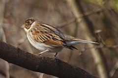 2018_01_0226 (petermit2) Tags: reedbunting bunting oldmoor dearnevalley dearne rotherham barnsley southyorkshire rspb